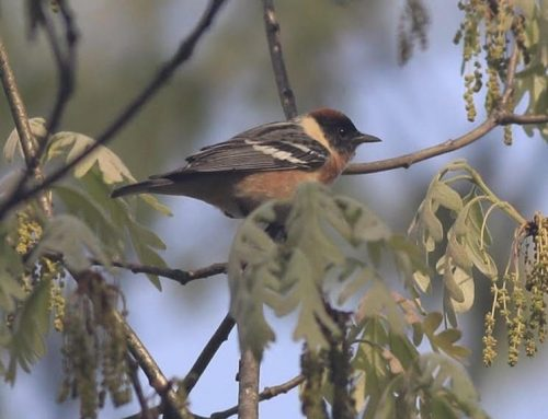 Birdwatching Walks, June 20 & September 12, 8 AM